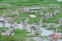 강서 포양호(鄱阳湖)서 월동하는 철새떼 장관