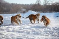 동북에 '동북호랑이 국가공원' 건립된다