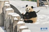 참대곰의 겨울나기