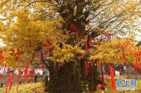 진령에 찾아온 만추, 천년 된 은행나무 낙엽의 '금빛 카펫'