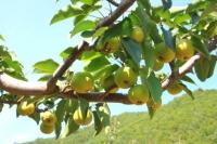 룡정시, 과일생산 정품화 표준화가 길이다