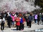 북경 옥연담: 벚꽃 만발, 관광객 맞아