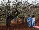 곤명 백년나무서 배꽃 만발, 유람객들 꽃구경 즐겨