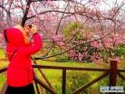 상해 벚꽃축제 곧 개막