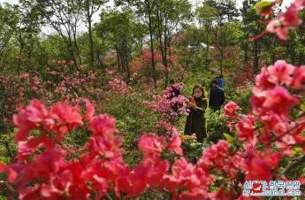 안휘 금채: 산과 들판 가득 물들인 영산홍