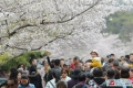 청도 연분홍 벚꽃 만개