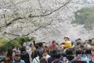 청도중산공원 벚꽃 만발