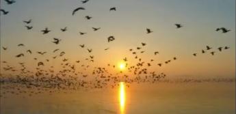 길림 경신:10여만 철새 모여