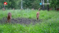 훈춘, 야생꽃사슴무리 출몰