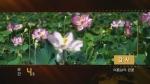 순간60s-강서 여름날의 련꽃