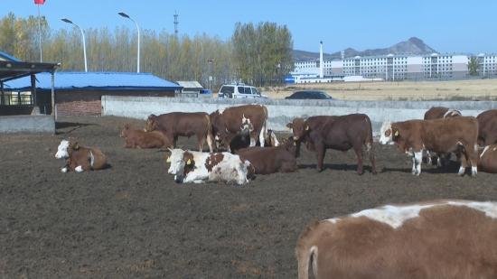 [영상뉴스] 공농촌, 육질 좋은 소고기로 촌 수입 제고